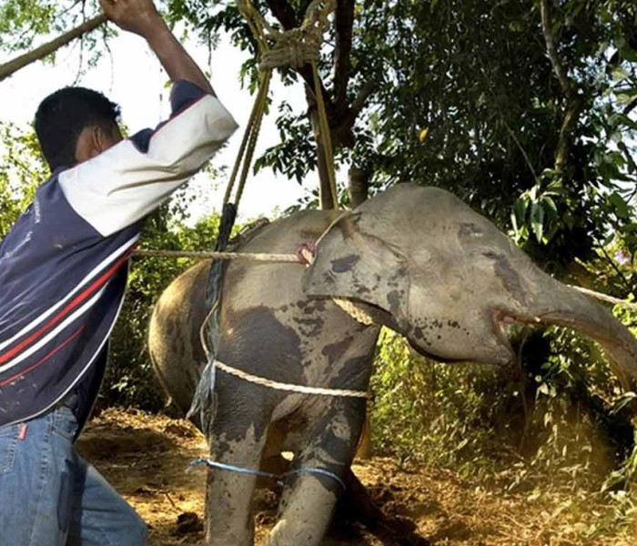 Muay Farang invites people to appreciate the real Thailand, starting from its elephants